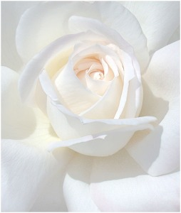 white_rose_by_thom_b_foto